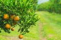 Orange groves - PhotoDune Item for Sale