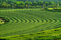 green tea plantation background - PhotoDune Item for Sale