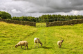 Sheep grazing in a green field - PhotoDune Item for Sale