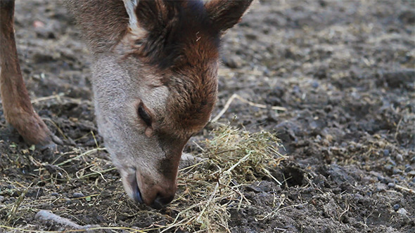 VideoHive Small Roe Deer Eating Grass 10112456