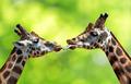 kissing giraffes - PhotoDune Item for Sale
