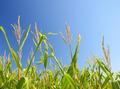 Corn field - PhotoDune Item for Sale