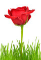 Red rose - PhotoDune Item for Sale