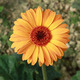 Yellow gerbera flower - PhotoDune Item for Sale