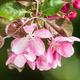 Apple Blossoms - PhotoDune Item for Sale