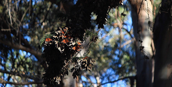VideoHive Monarch Butterfly Cluster in Pismo Beach 10117416