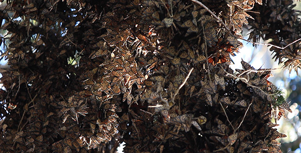 VideoHive Large Cluster of Migrating Monarch Butterflies 10117420