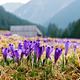 Crocus on a meadow in spring - PhotoDune Item for Sale