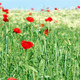 red poppy flowers and green wheat spring season - PhotoDune Item for Sale