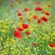 poppy flowers meadow spring season - PhotoDune Item for Sale