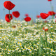 red poppy and chamomile flower spring meadow - PhotoDune Item for Sale