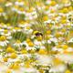 bee on chamomile flower meadow spring season - PhotoDune Item for Sale