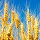 Wheat field - PhotoDune Item for Sale