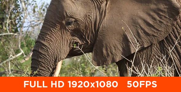 VideoHive Elephants Eating 10124184