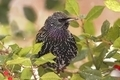 European Starling - PhotoDune Item for Sale