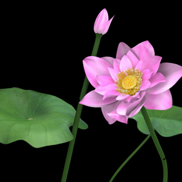 3DOcean Lotus flower 10131933
