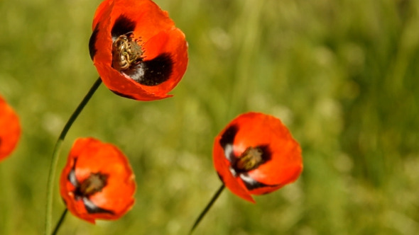 Bee on Poppy 02