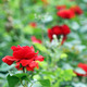 red roses garden spring season - PhotoDune Item for Sale