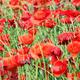 poppy flower field spring season - PhotoDune Item for Sale