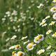 chamomile flower meadow spring season - PhotoDune Item for Sale