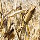 drought corn field - PhotoDune Item for Sale