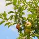 Low apple trees - PhotoDune Item for Sale