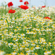 bees chamomile and poppy flower meadow spring season - PhotoDune Item for Sale