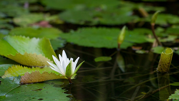 VideoHive Water Lily Blooming 10150146