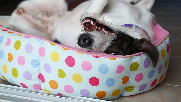 VideoHive Funny Cute Dog Relaxing in Bed 10152516