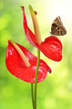 Red anthurium with butterfly - PhotoDune Item for Sale
