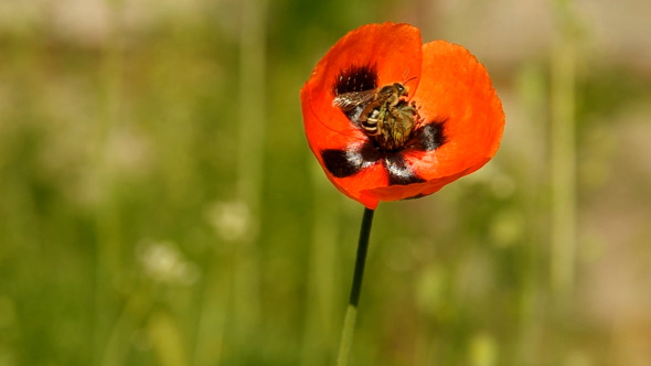 VideoHive Bee on Poppy 03 10099145