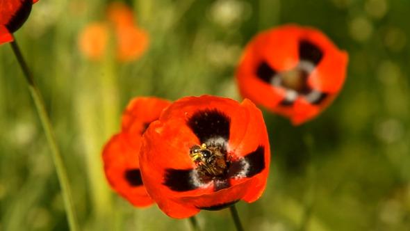 VideoHive Bee on Poppy 04 10099202