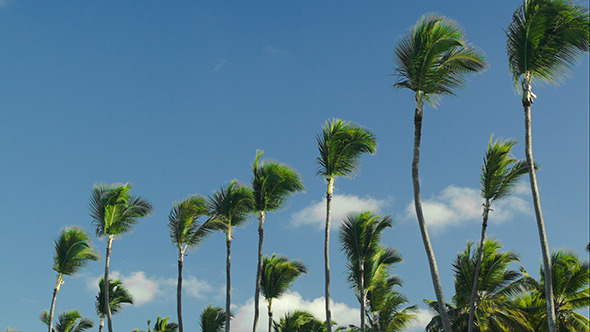 VideoHive Nature Scene Of High Palms Against Blue Sky 10156814