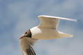Flying Gull  (Larus ridibundus) - PhotoDune Item for Sale