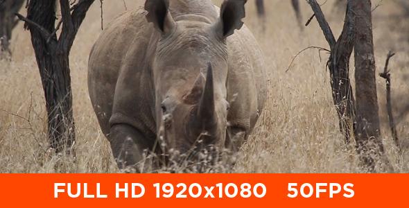 African White Rhino 05