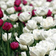 white and red tulip flowers garden - PhotoDune Item for Sale