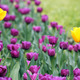 yellow and purple tulip flowers garden - PhotoDune Item for Sale