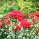 roses flower garden spring season - PhotoDune Item for Sale
