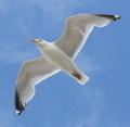 flying gull  (Larus argentat - PhotoDune Item for Sale