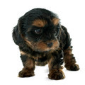puppy yorkshire terrier - PhotoDune Item for Sale
