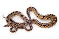 Python regius - PhotoDune Item for Sale