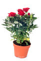 rose tree - PhotoDune Item for Sale