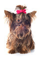 chocolate yorkshire terrier - PhotoDune Item for Sale