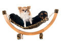 puppies yorkshire terrier and chihuahua - PhotoDune Item for Sale