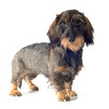 Wire-haired dachshund - PhotoDune Item for Sale
