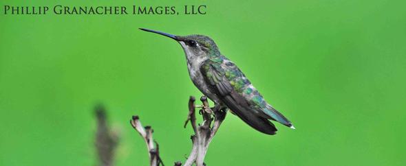 Resting-hummingbird