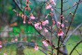 Cherry Blossom and Sakura in the northern of Thailand - PhotoDune Item for Sale