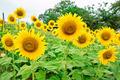 Beautiful sunflower field - PhotoDune Item for Sale
