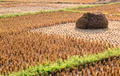 Rice straw field on harvested agricultural field - PhotoDune Item for Sale