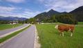cow in Austria - PhotoDune Item for Sale